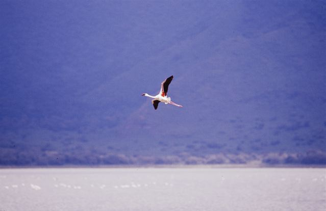 flying flamingoes ii by - photo #23